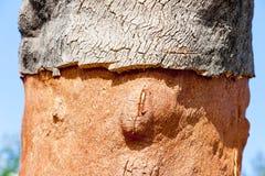 Cork oak. Close up of cork oak, Alentejo, Portugal Stock Photos