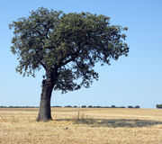 Cork oak Stock Image
