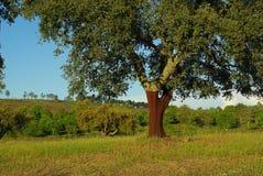 Cork oak Stock Photography