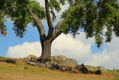 Cork oak Royalty Free Stock Photo