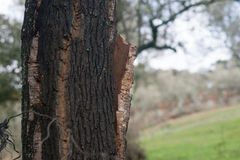 Cork oak with cork Stock Images