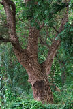 Cork oak Royalty Free Stock Photography