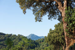 Cork oak  in  corsica mountain Royalty Free Stock Image