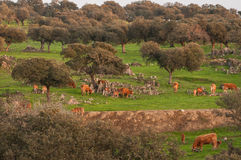 Cork oak and cows in Extremadura Royalty Free Stock Image