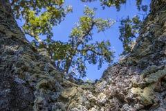Cork oak detail at Cornalvo, Extremadura, Spain Stock Image