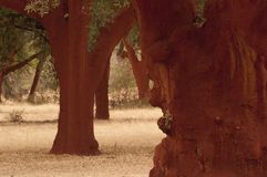 Cork oak after the extraction of the cork, Quercus suber, Spain royalty free stock image