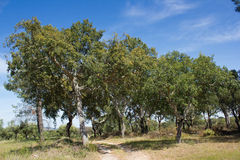 Cork oak forest (Quercus suber), botanic. A forest of cork oak, Quercus suber, in Malpica do Tejo, Beira Baixa province, Castelo Branco district, Portugal Stock Image