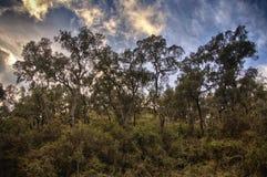 Cork oaks and blue sky stock photo