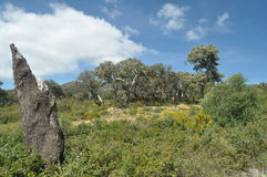 Cork oak forests in the mountains Royalty Free Stock Images
