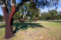 Cork oak, Monfrague, Caceres Royalty Free Stock Photo