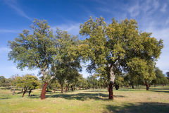 Cork oak, Monfrague, Caceres Royalty Free Stock Image