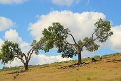 Cork oak Stock Photo