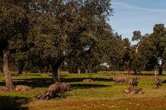 Cork oak and pigs Stock Photography
