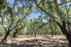 Cork oak Royalty Free Stock Images