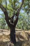 Cork oak Stock Photos