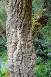 Cork oak in a public parc Stock Photos