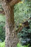 Cork oak in a public parc Stock Photo