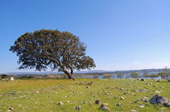 Cork oak in Sardinia. A view of Cork oak in sardinian lake Coghinas. Italy Royalty Free Stock Photography