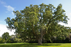 Cork Oak Tree Royalty Free Stock Image