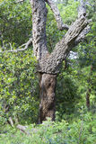 Cork oak tree without bark Royalty Free Stock Photography