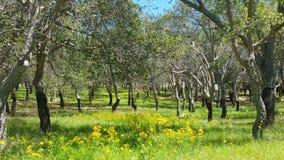 Cork Oak Tree Forest Summer dag