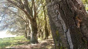 Cork Oak Tree Forest Summer Day stock video