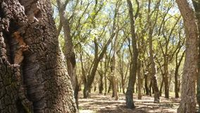 Cork Oak Tree Forest Summer Day stock footage