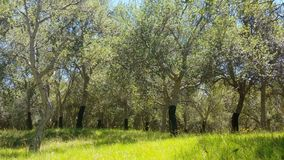 Cork Oak Tree Forest Summer Day stock video footage