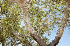 Cork Oak Tree Royalty Free Stock Images