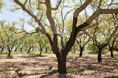 Cork Oak Tree. In Portugal Royalty Free Stock Image