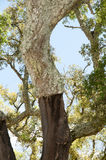 Cork Oak Tree Royalty Free Stock Photography