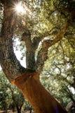 Cork oak tree in Sardinia Royalty Free Stock Photography