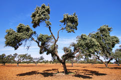 Cork oak trees. In Extremadura, Spain Royalty Free Stock Image