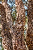 Cork Oak Trees in a Forest Royalty Free Stock Photo