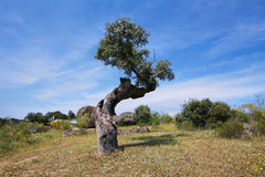 Cork oak trees Royalty Free Stock Photos