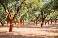 Free Cork Oak Trees In Portugal Stock Image - 104495811