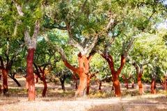 Cork oak trees in Portugal Stock Photos