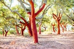Cork oak trees in Portugal Stock Image