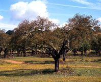 Cork oak trees, Portugal. Field of Cork Oak trees with stripped bark, Alentejo region, Portugal, Western Europe Royalty Free Stock Photos