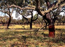 Cork Oak trees, Portugal. Stock Image