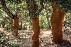 Cork oak trees in Sardinia Stock Images