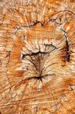 Cork oak wood Stock Images