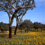 Cork oaks Stock Images