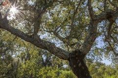 Cork Oaks-bos in Cornalvo, Extremadura, Spanje Stock Foto's