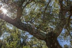 Cork Oaks forest at Cornalvo, Extremadura, Spain Royalty Free Stock Photo