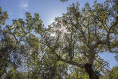 Cork Oaks forest at Cornalvo, Extremadura, Spain Stock Photo