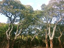 Cork oaks in Sardinia Stock Image