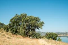 Cork oakt trees Stock Photo