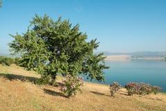 Cork oakt trees Royalty Free Stock Image