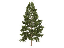 Cork_pine_(Pinus_strobus) Royalty Free Stock Photography